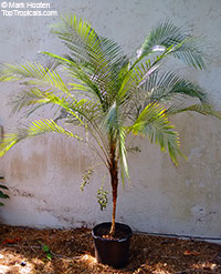 Lytocaryum weddellianum, Cocos weddelliana, Syagrus weddelliana, Miniature Coconut Palm, Weddell's Palm