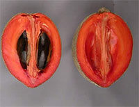 Pouteria sapota - Mamey Sapote Lorito, grafted Click to see full-size image