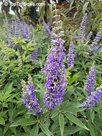 Vitex agnus castus - Chaste Shoal Creek 