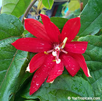 Passiflora vitifolia - Scarlet Flame Passion Flower  Click to see full-size image