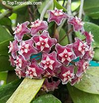 Hoya pubicalyx - Harlequin Porcelain Vine, variegatedClick to see full-size image