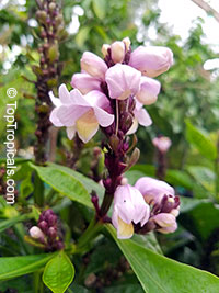 Phlogacanthus turgidus - Lavender Bells  Click to see full-size image