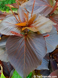 Acalypha wilkesiana - Chocolate Copper Leaf