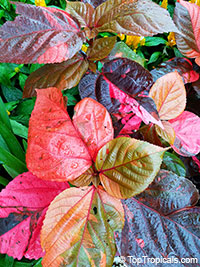 Acalypha wilkesiana - Miltoniana Copper Leaf