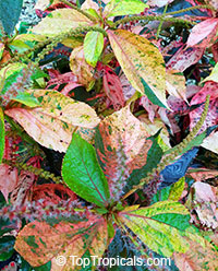 Acalypha wilkesiana - Chicago Brick Copper Leaf 