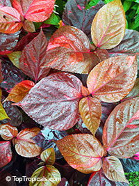 Acalypha wilkesiana - Louisiana Red Copper Leaf  Click to see full-size image