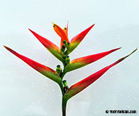 Heliconia hirsuta Costa Flores  Click to see full-size image
