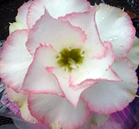 Adenium Chandra, Grafted  Click to see full-size image