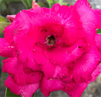 Adenium Shocking Pink, Grafted  Click to see full-size image