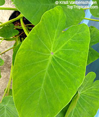 Colocasia sp., Elephant Ear