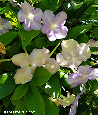 Brunfelsia isola - Lavender Lady of the Night  Click to see full-size image