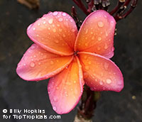 Plumeria Kimo - Rainbow Colors