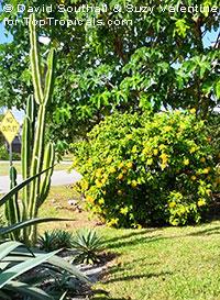 Stifftia chrysantha, Pompom, Golden-flowered Stifftia, Rabo-de-Cutia, Esponja, Flor de Amizade, Pincel, Esponja de Oro  Click to see full-size image