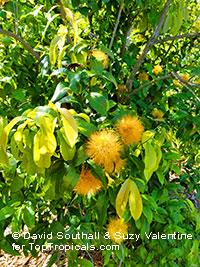 Stifftia chrysantha, Pompom, Golden-flowered Stifftia, Rabo-de-Cutia, Esponja, Flor de Amizade, Pincel, Esponja de OroClick to see full-size image