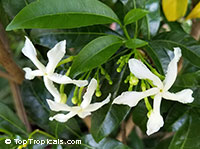 Tabernaemontana australis, Australian PinweelClick to see full-size image