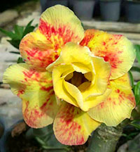 Adenium Faydra (6897), Grafted