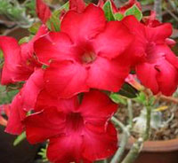 Adenium Dang Udomsab, Grafted  Click to see full-size image