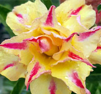 Adenium Golden Millionaire, Grafted  Click to see full-size image
