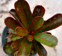 Adenium Nil (red veined leaves), Grafted  Click to see full-size image