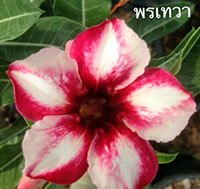 Adenium Pon Thewa, Grafted  Click to see full-size image