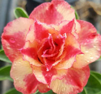 Adenium Thong Suk Jai, Grafted  Click to see full-size image