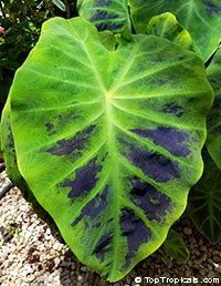 Colocasia sp., Elephant EarClick to see full-size image