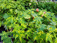 Abutilon pictum, Golden Rain Flowering Maple, Thompsons Flowering Maple, Bell Flower