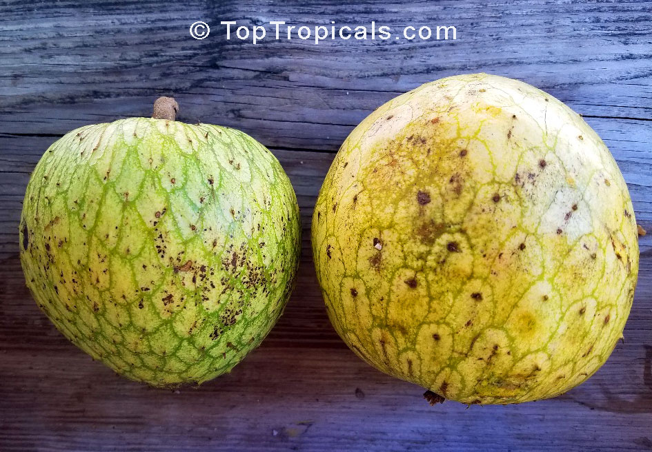 Annona montana, Mountain Soursop, Wild Custard Apple, Guanabana de ...
