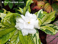 Gardenia variegata Glacier - Variegated gardenia  Click to see full-size image
