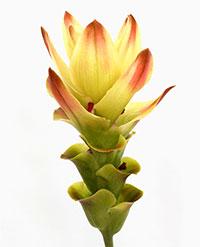 Curcuma Siam Solar - Thai Siam Tulip  Click to see full-size image