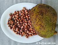 Artocarpus integer, Chempedak, Jack-edak  Click to see full-size image