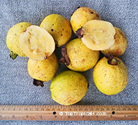 Psidium friedrichsthalianum, Costa Rica Cas Fruit, Cas Guava  Click to see full-size image