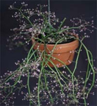 Euphorbia guiengola - String of Stars