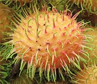 Nephelium lappaceum var. Aurea - Yellow Rambutan (w/express shipping)Click to see full-size image