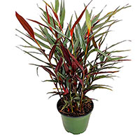 Alpinia luteocarpa - Red Bamboo Ginger  Click to see full-size image