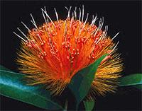 Stiffia chyrsantha - PompomClick to see full-size image