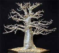 Adansonia digitata - Baobab Bonsai (starter)