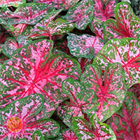 Caladium Carolyn Whorton, collectible variety
