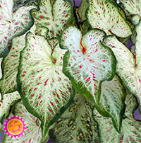 Caladium Cosmic Delight, collectible varietyClick to see full-size image