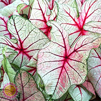 Caladium White Queen, collectible varietyClick to see full-size image