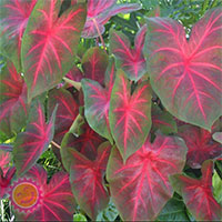 Caladium Blaze, collectible varietyClick to see full-size image