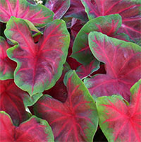 Caladium Buck, collectible variety