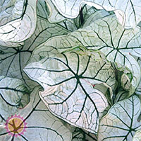 Caladium Candidum Jr, collectible varietyClick to see full-size image