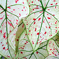 Caladium Cranberry Star, collectible varietyClick to see full-size image