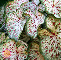 Caladium Gingerland, collectible varietyClick to see full-size image