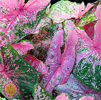 Caladium Pink Beauty, collectible varietyClick to see full-size image