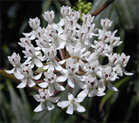 Asclepias perennis - White Butterfly  Click to see full-size image