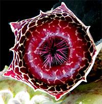 Huernia guttata ssp reticulata - Lifesaver plant  Click to see full-size image