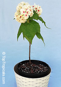 Dombeya burgessiae - Fragrant White  Click to see full-size image
