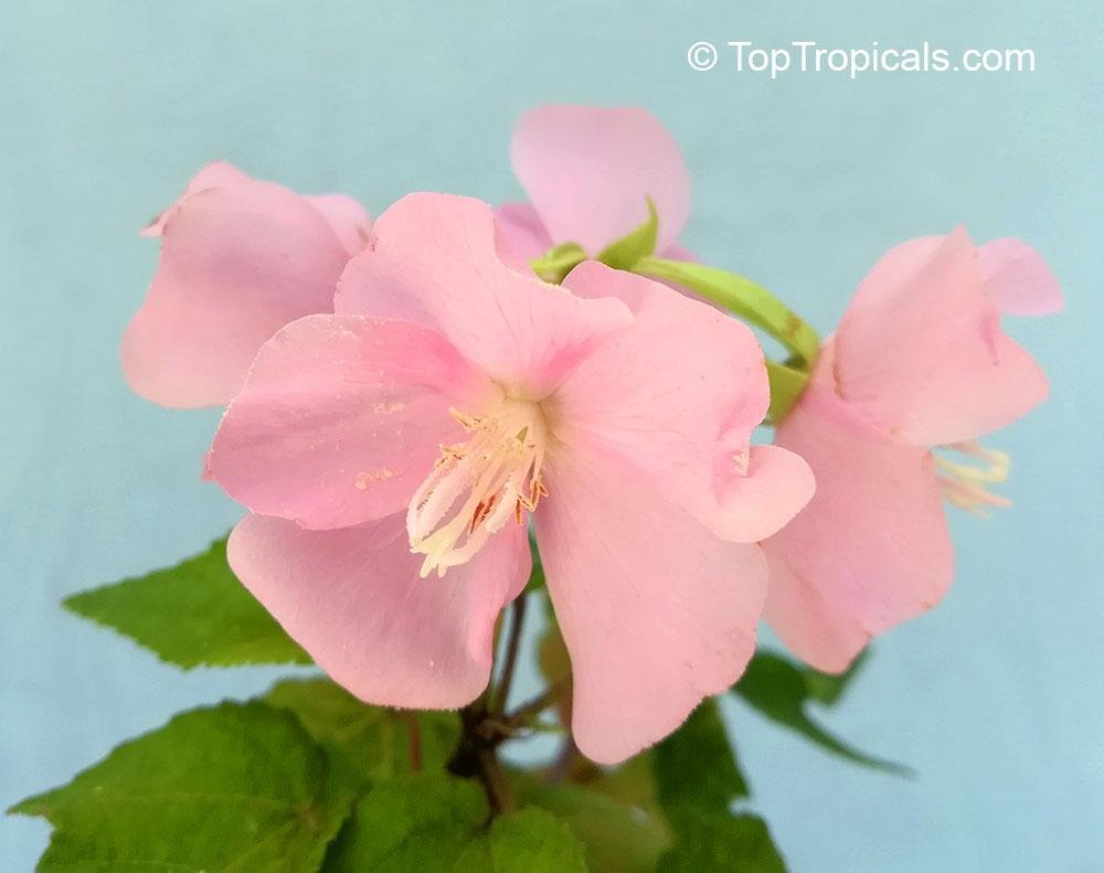 Dombeya Elegans Pink Cloud Mahot Rose Toptropicals